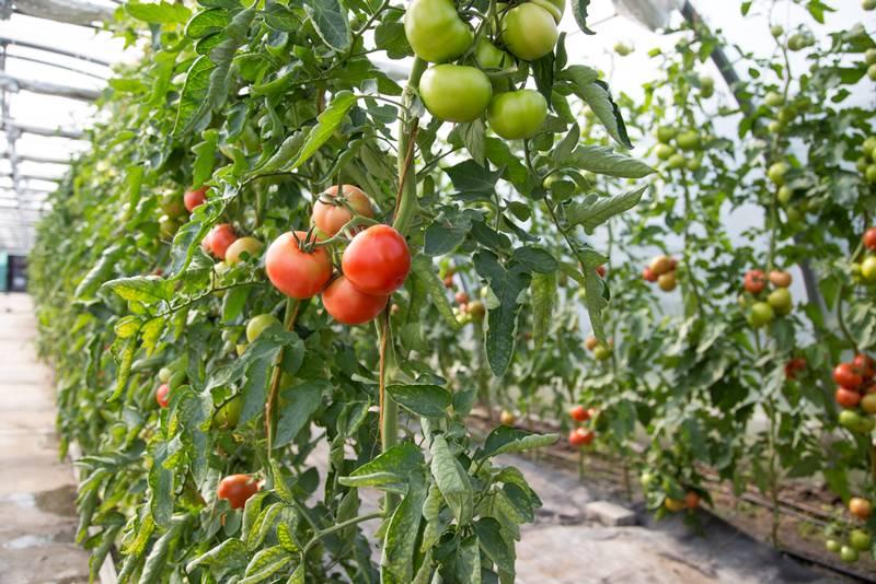 Gartenbau und Floristik Blumen Teipel Dolberg Tomaten